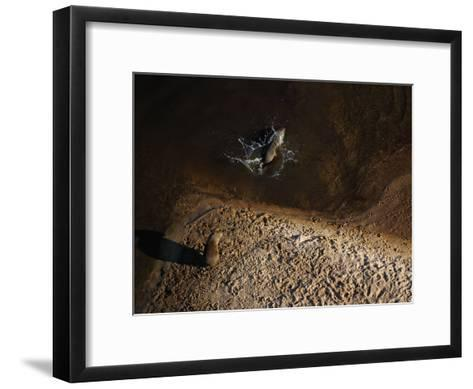 One capybara dives into the Rio Negro while another sits on its bank-Bobby Haas-Framed Art Print