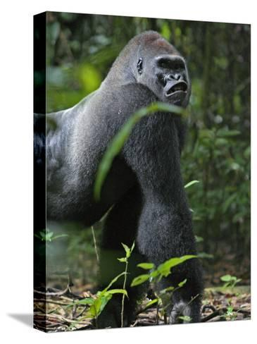 A gorilla knuckle-walks on arms as thick as tree limbs-Ian Nichols-Stretched Canvas Print