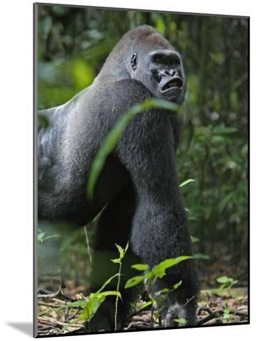 A gorilla knuckle-walks on arms as thick as tree limbs-Ian Nichols-Mounted Photographic Print