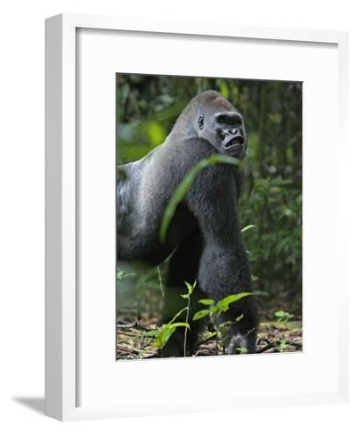 A gorilla knuckle-walks on arms as thick as tree limbs-Ian Nichols-Framed Art Print