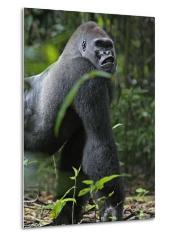 A gorilla knuckle-walks on arms as thick as tree limbs-Ian Nichols-Metal Print
