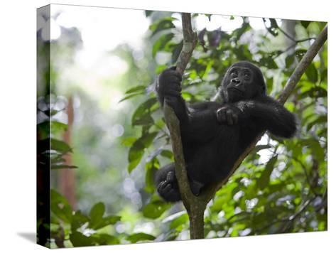 A small sapling is Kusu's watchtower in the Congo jungle-Ian Nichols-Stretched Canvas Print