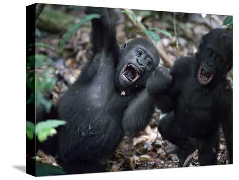 Playtime for a pair of juvenile western lowland gorillas-Ian Nichols-Stretched Canvas Print