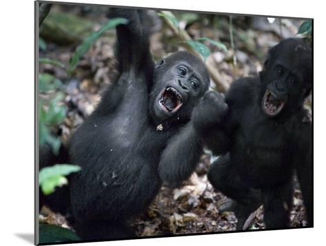 Playtime for a pair of juvenile western lowland gorillas-Ian Nichols-Mounted Photographic Print