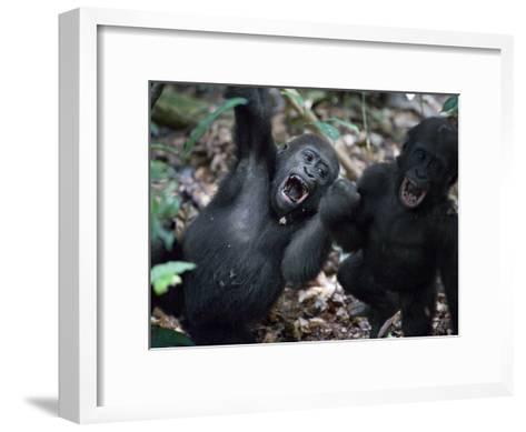 Playtime for a pair of juvenile western lowland gorillas-Ian Nichols-Framed Art Print
