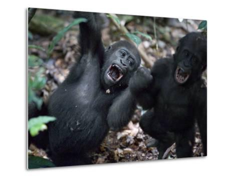 Playtime for a pair of juvenile western lowland gorillas-Ian Nichols-Metal Print