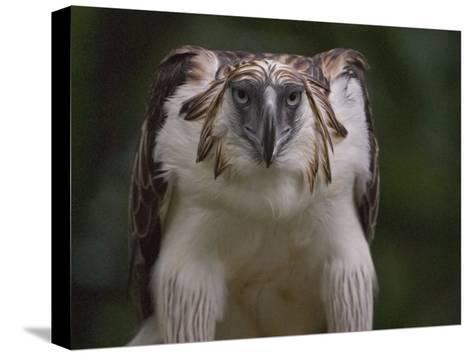 Portrait of a captive Philippine eagle-Klaus Nigge-Stretched Canvas Print