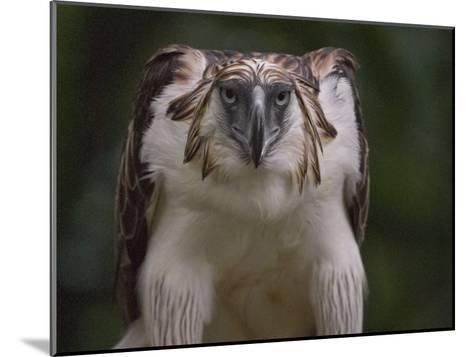 Portrait of a captive Philippine eagle-Klaus Nigge-Mounted Photographic Print
