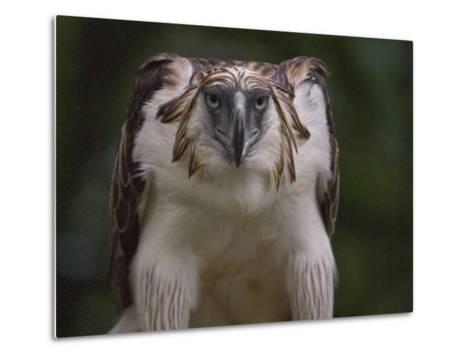 Portrait of a captive Philippine eagle-Klaus Nigge-Metal Print