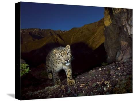 A remote camera captures an endangered snow leopard-Steve Winter-Stretched Canvas Print