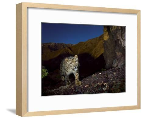 A remote camera captures an endangered snow leopard-Steve Winter-Framed Art Print