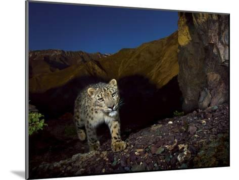 A remote camera captures an endangered snow leopard-Steve Winter-Mounted Photographic Print