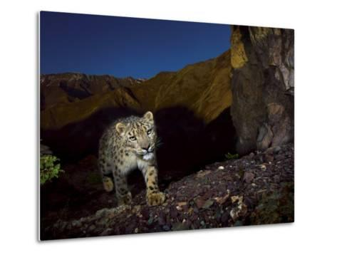 A remote camera captures an endangered snow leopard-Steve Winter-Metal Print