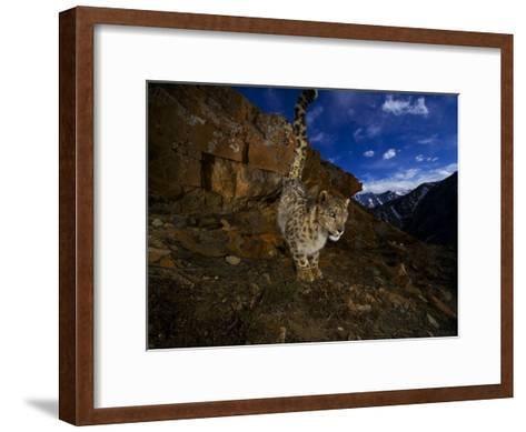 A snow leopard signals its presence by urinating beside his trail-Steve Winter-Framed Art Print