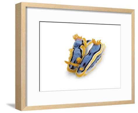 A pair of toxic Chromodoris annae nudibranchs-David Doubilet-Framed Art Print