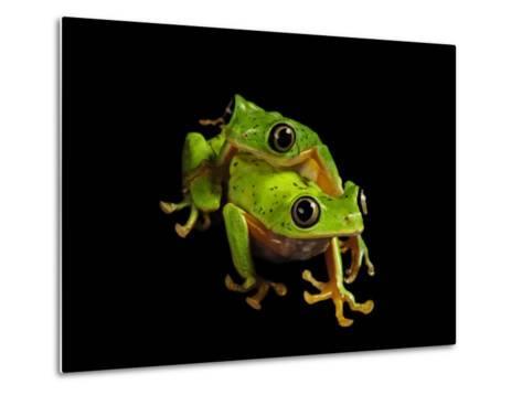 A pair of endangered lemur leaf frogs-Joel Sartore-Metal Print