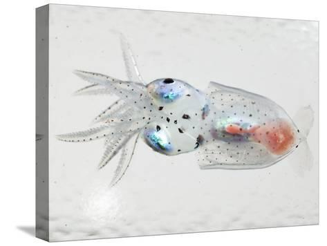 A transparent larval squid-David Liittschwager-Stretched Canvas Print
