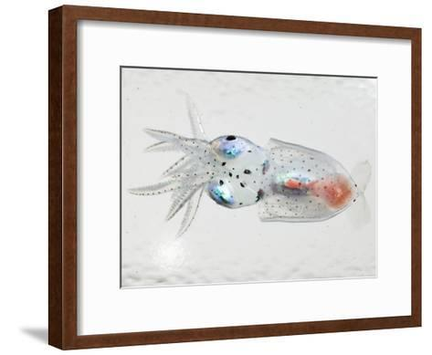 A transparent larval squid-David Liittschwager-Framed Art Print