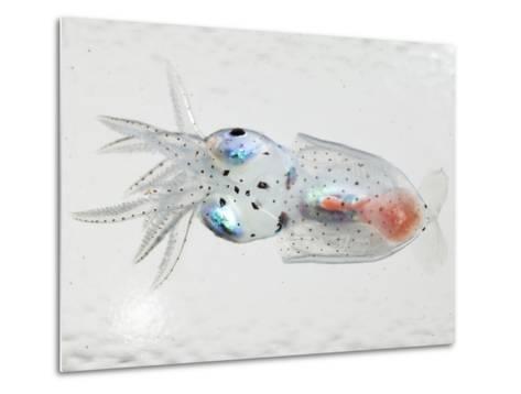 A transparent larval squid-David Liittschwager-Metal Print