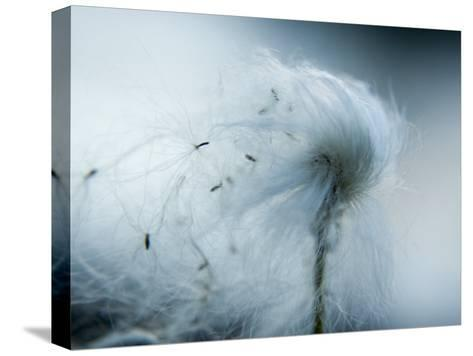 Silken fibers of cotton grass-Michael Melford-Stretched Canvas Print