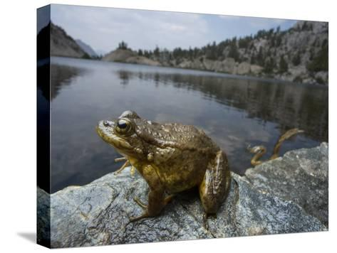 A mountain yellow legged frog treated with an anitfungal agent-Joel Sartore-Stretched Canvas Print