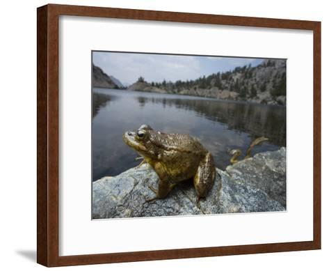 A mountain yellow legged frog treated with an anitfungal agent-Joel Sartore-Framed Art Print