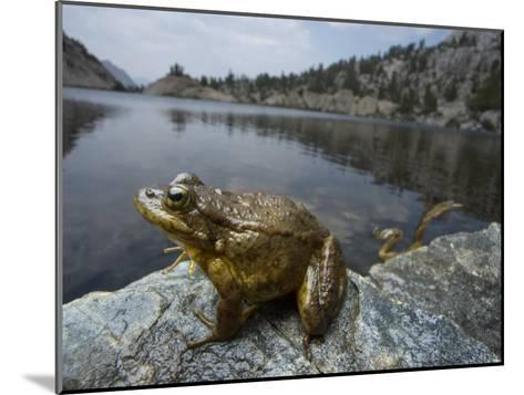 A mountain yellow legged frog treated with an anitfungal agent-Joel Sartore-Mounted Photographic Print