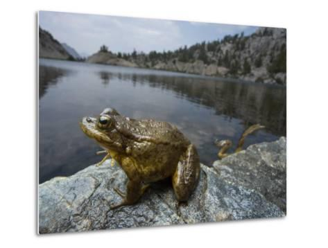 A mountain yellow legged frog treated with an anitfungal agent-Joel Sartore-Metal Print