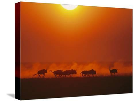Wildebeests in twilight, Zambezi River area-Chris Johns-Stretched Canvas Print