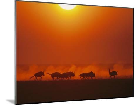 Wildebeests in twilight, Zambezi River area-Chris Johns-Mounted Photographic Print