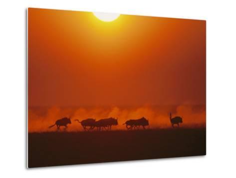 Wildebeests in twilight, Zambezi River area-Chris Johns-Metal Print