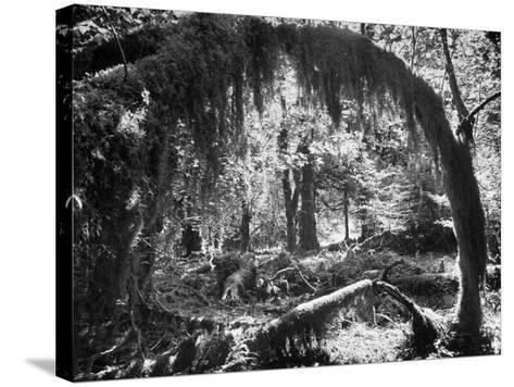 Olympic National Park Showing Rain Forest Conditions with Tree Bending under the Weight of Moss-Loomis Dean-Stretched Canvas Print