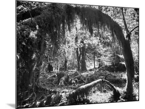 Olympic National Park Showing Rain Forest Conditions with Tree Bending under the Weight of Moss-Loomis Dean-Mounted Photographic Print