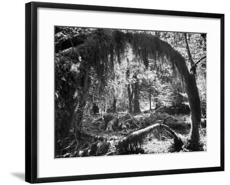 Olympic National Park Showing Rain Forest Conditions with Tree Bending under the Weight of Moss-Loomis Dean-Framed Art Print