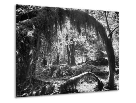 Olympic National Park Showing Rain Forest Conditions with Tree Bending under the Weight of Moss-Loomis Dean-Metal Print