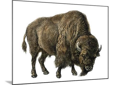 Bison, or American Buffalo--Mounted Giclee Print