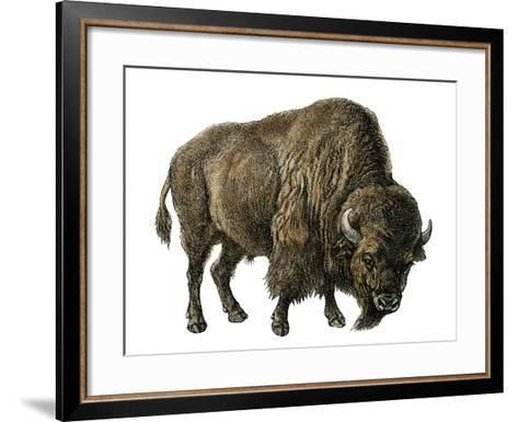 Bison, or American Buffalo--Framed Art Print