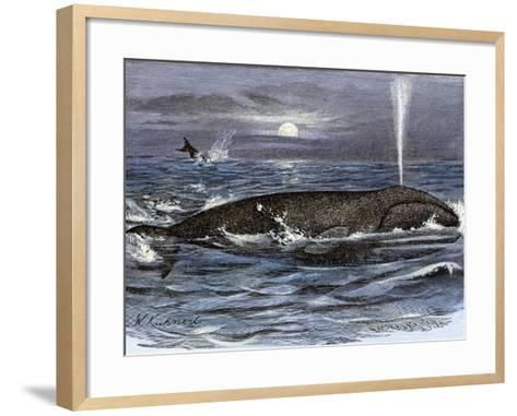 Right Whale Spouting--Framed Art Print