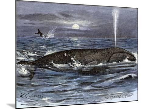 Right Whale Spouting--Mounted Giclee Print