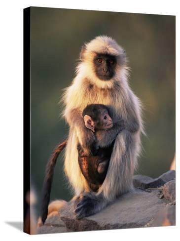 Hanuman Langur Adult Caring for Young, Thar Desert, Rajasthan, India-Jean-pierre Zwaenepoel-Stretched Canvas Print