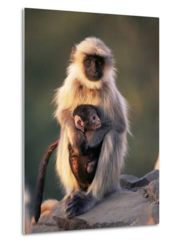 Hanuman Langur Adult Caring for Young, Thar Desert, Rajasthan, India-Jean-pierre Zwaenepoel-Metal Print