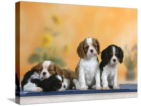 Domestic Dogs, Four Cavalier King Charles Spaniel Puppies, 7 Weeks Old, of Different Colours-Petra Wegner-Stretched Canvas Print