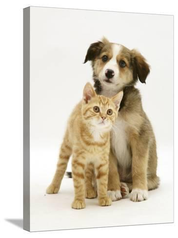 British Shorthair Red Tabby Kitten Sitting with Sable Border Collie Pup-Jane Burton-Stretched Canvas Print