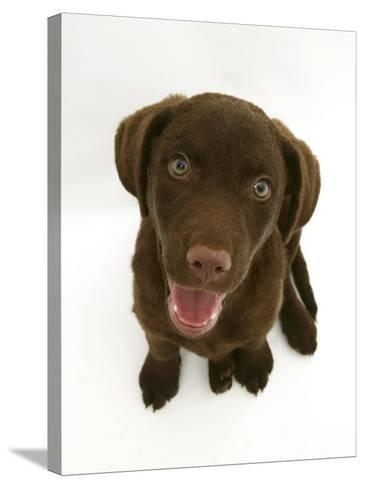 Chesapeake Bay Retriever Dog Pup, 'Teague', 9 Weeks Old Looking Up-Jane Burton-Stretched Canvas Print