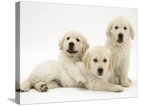 Three Golden Retriever Pups-Jane Burton-Stretched Canvas Print