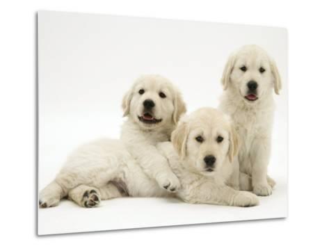 Three Golden Retriever Pups-Jane Burton-Metal Print