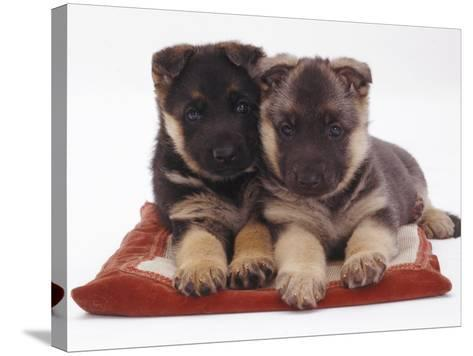 Two German Shepherd Dog Alsatian Pups, 5 Weeks Old, Lying on a Pillow-Jane Burton-Stretched Canvas Print