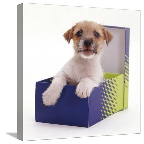 Jack in a Box - Jack Russell Terrier Pup in a Shoe Box-Jane Burton-Stretched Canvas Print