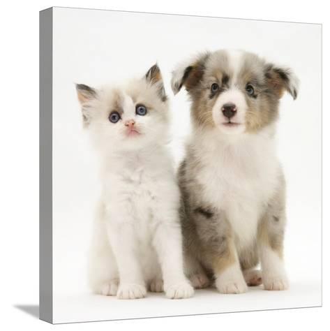 Birman-Cross Kitten Sitting with Blue Merle Shetland Sheepdog Pup-Jane Burton-Stretched Canvas Print