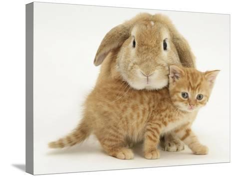 British Shorthair Red Spotted Kitten with Sandy Lop Rabbit-Jane Burton-Stretched Canvas Print